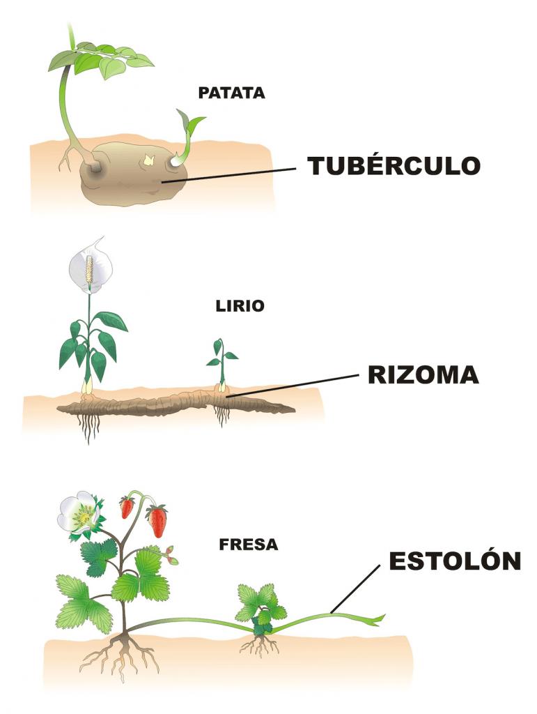 como se reproducen las plantas asexualmente