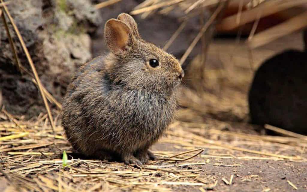 animales en peligro de extincion en mexico conejito de los volcanes