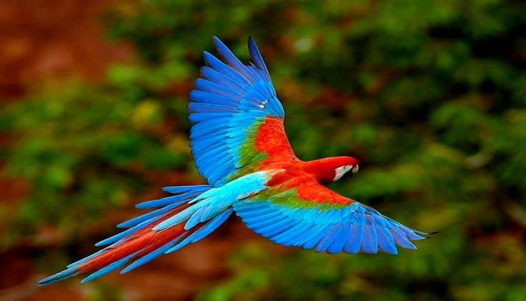 animales en peligro de extincion en mexico guacamaya roja