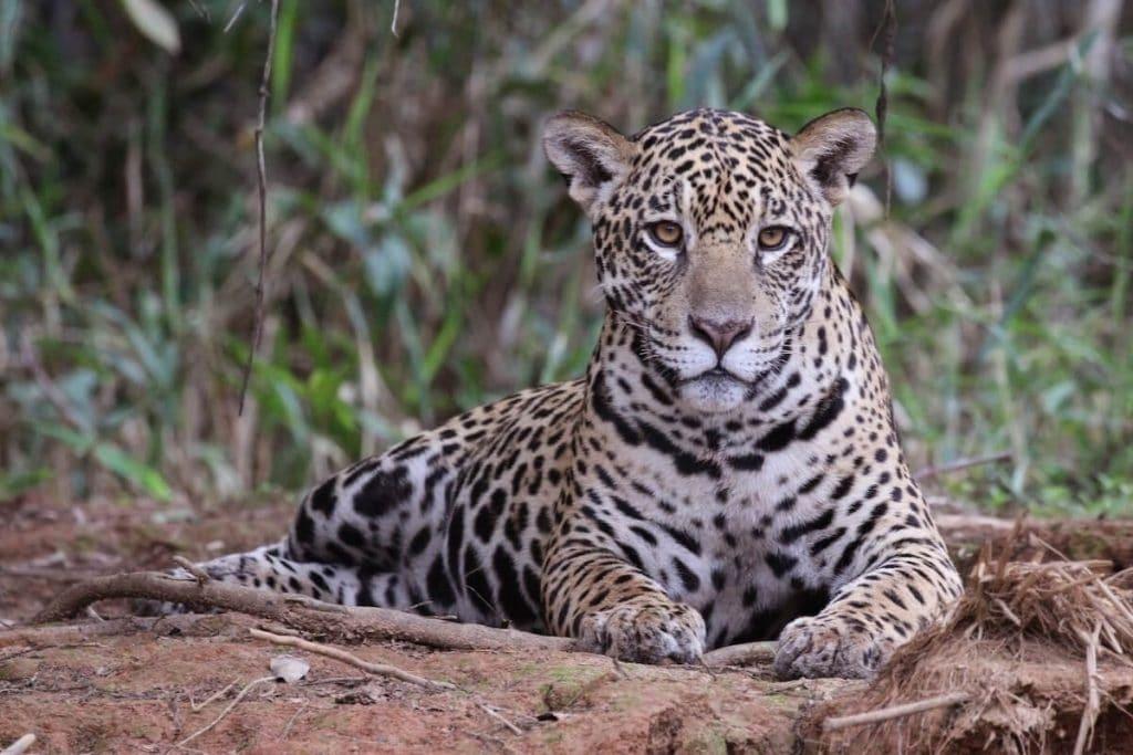 animales en peligro de extincion en mexico jaguar