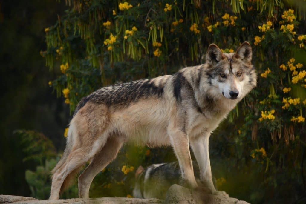 animales en peligro de extincion en mexico lobo gris mexicano