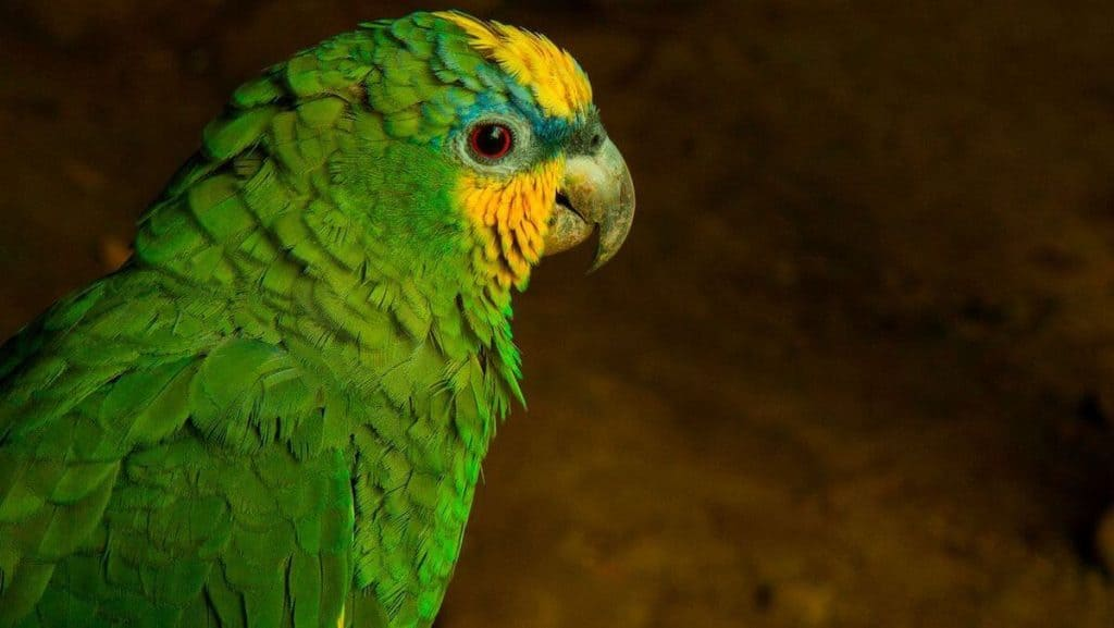 animales en peligro de extincion en mexico loro de cabeza amarilla