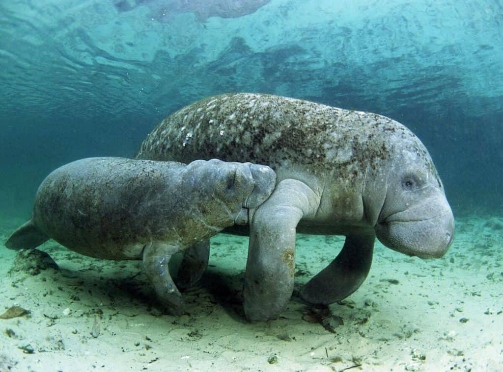 animales en peligro de extincion en mexico manati de las antillas