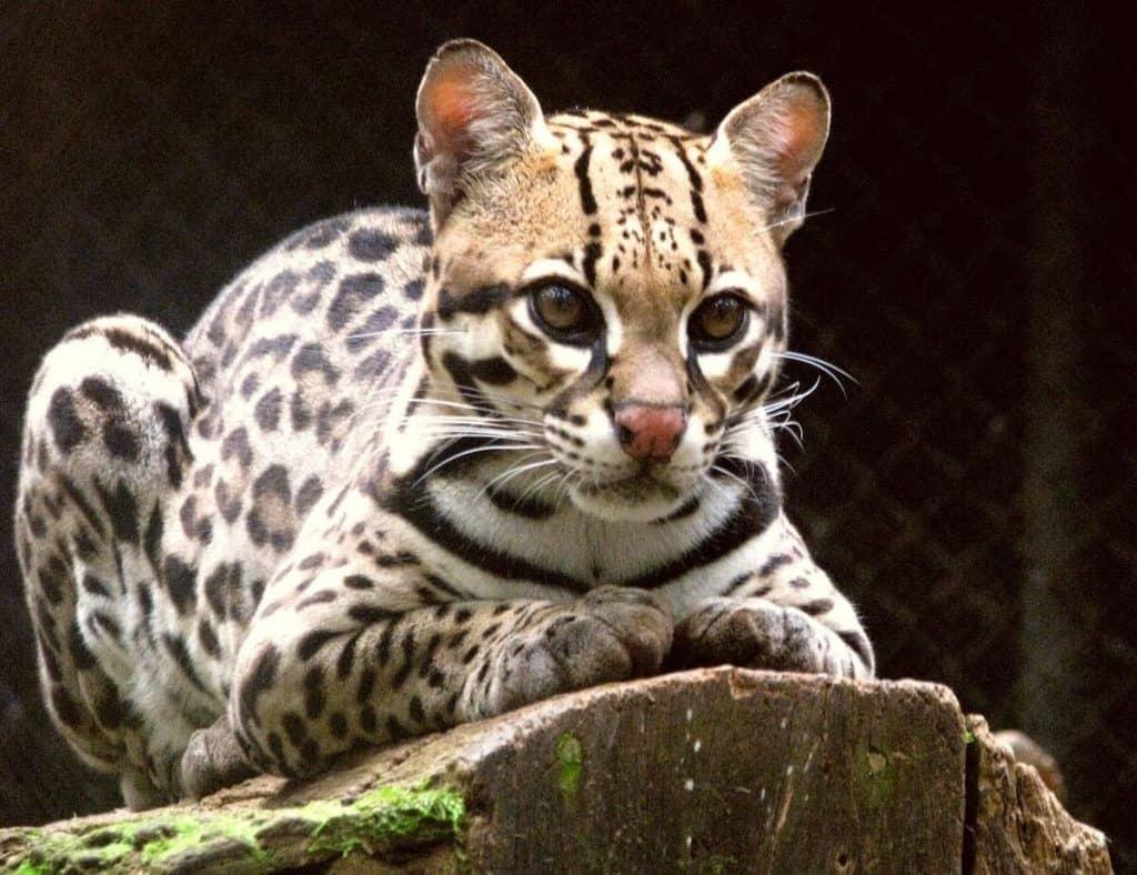 animales en peligro de extincion en mexico ocelote
