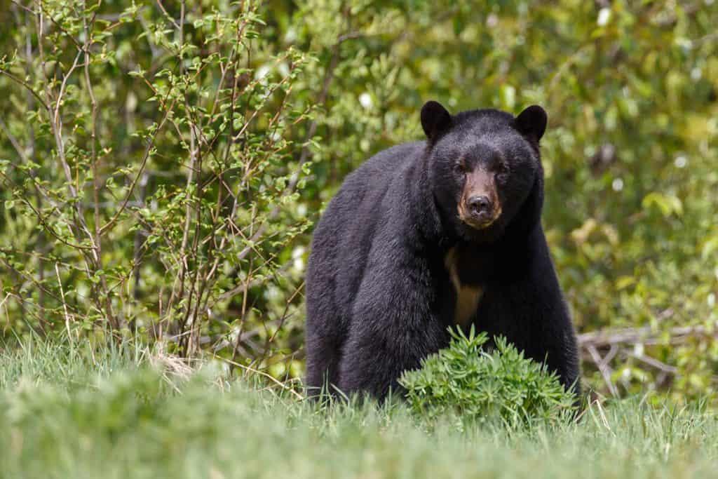 animales en peligro de extincion en mexico oso negro