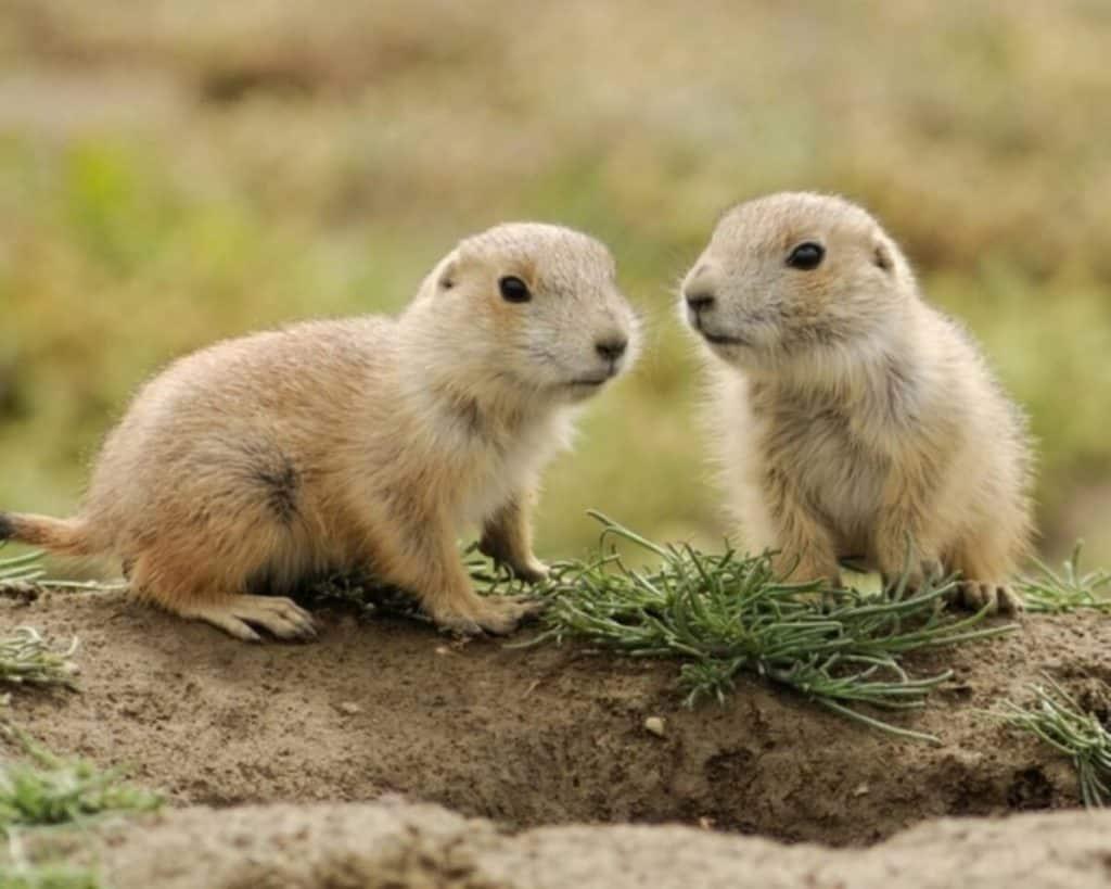 animales en peligro de extincion en mexico perrito de la pradera mexicano