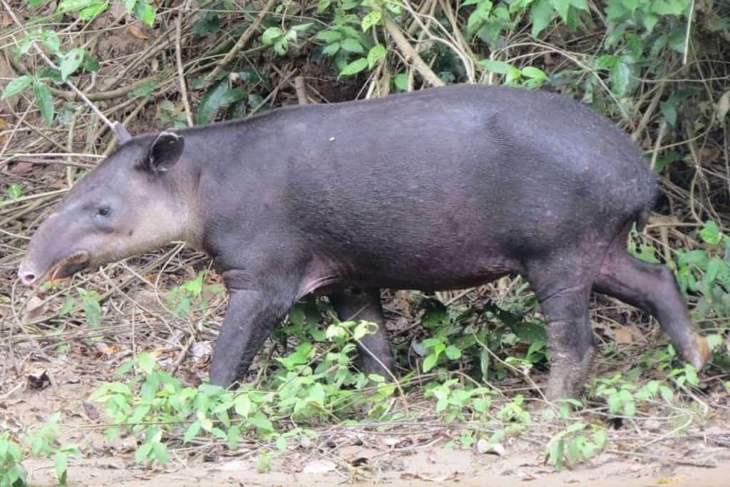 animales en peligro de extincion en mexico tapir centroamericano