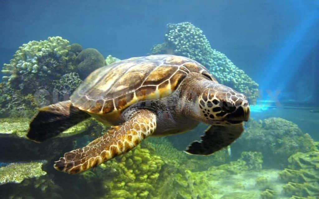 animales en peligro de extincion en mexico tortuga caguama